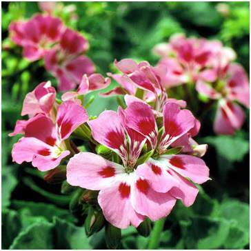 Allure Light Pink Geranium
