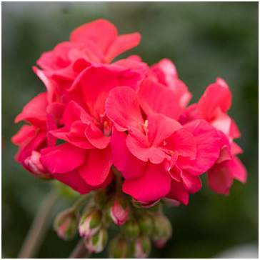 Candy Cherry Geranium