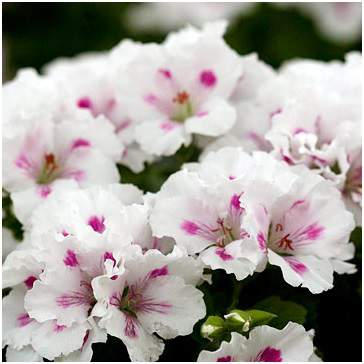 Elegance Royalty White Regal Geranium