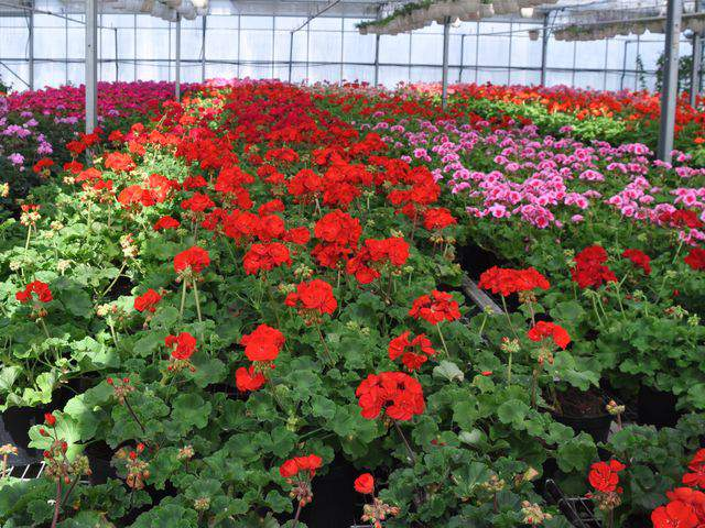 Geranium Flowers Greenhouse